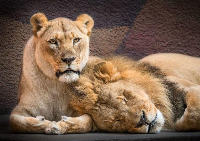 美國動物園在同一天安排一對獅子伴侶安樂死