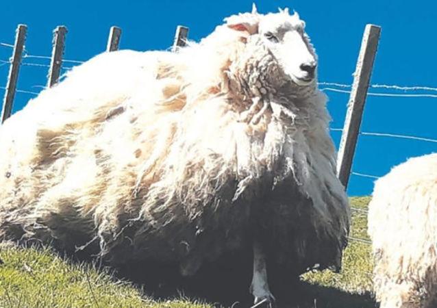 新西蘭一隻五年沒有剃毛的羊被抓