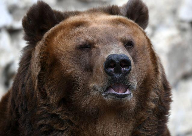 克拉斯諾亞爾斯克邊疆區襲擊旅遊團的熊被擊斃