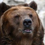 克拉斯诺亚尔斯克边疆区袭击旅游团的熊被击毙