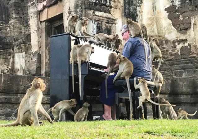 英国音乐家保罗·巴顿(Paul Barton)在泰国华富里给猴子弹钢琴