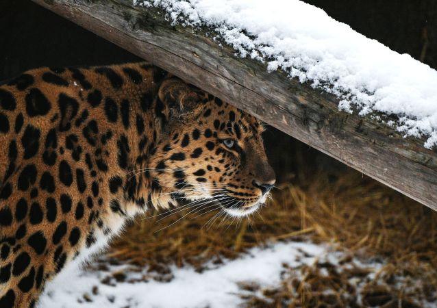 俄滨海边疆区一只雌豹共生下10只幼崽创生育纪录