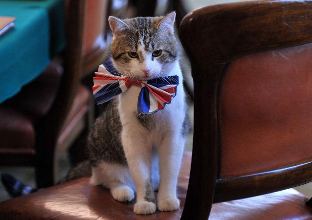英国伦敦唐宁街10号首相官邸里戴着领结的拉里猫。