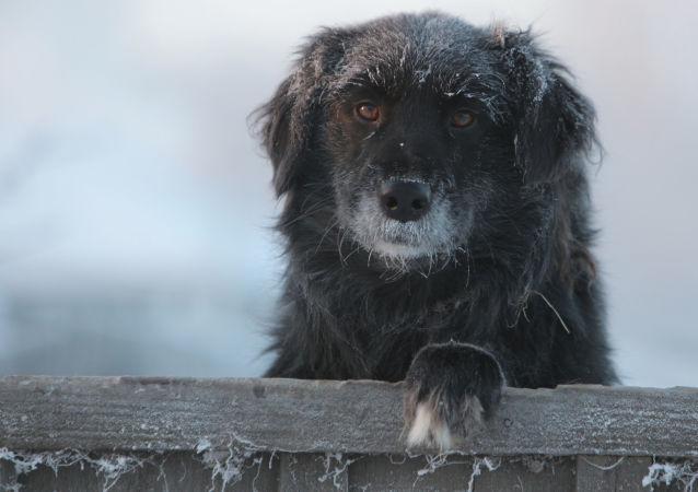 聖彼得堡的街道上出現機器狗