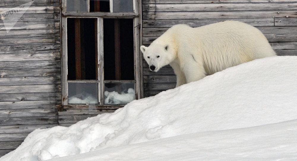 俄科学家指出人类与北极熊冲突的次数增加