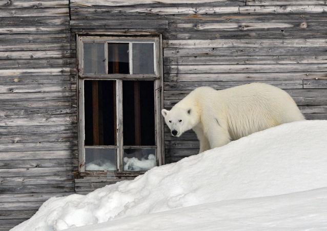 世界自然基金会俄分会会长:北极熊入侵新地岛系气候变化所致