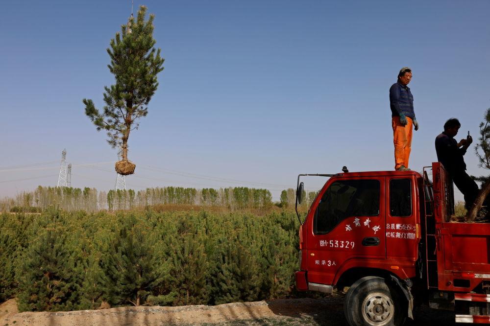 绿化使用的树苗。