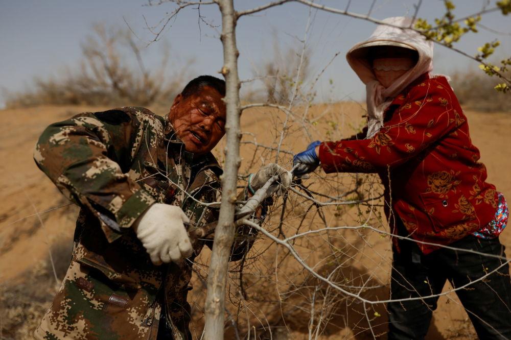 甘肃武威的53岁王师傅与爱人为树苗修枝。