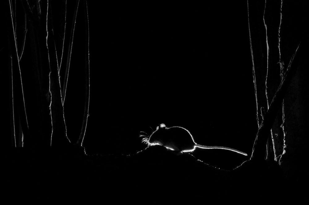 摄影师约翰·福尔斯通(John Formstone)作品《木老鼠的轮廓》(Silhouetted Wood Mouse)获得2021年自然TTL摄影师大赛隐蔽摄影类奖项。