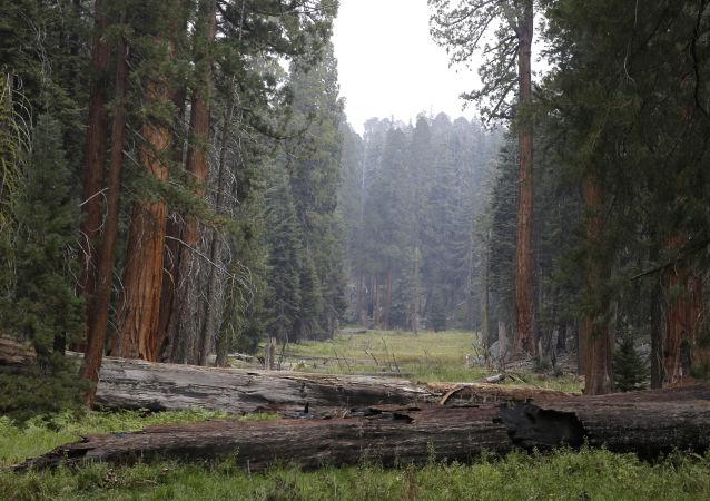 媒体:加州火灾摧毁全球10%的美洲杉树