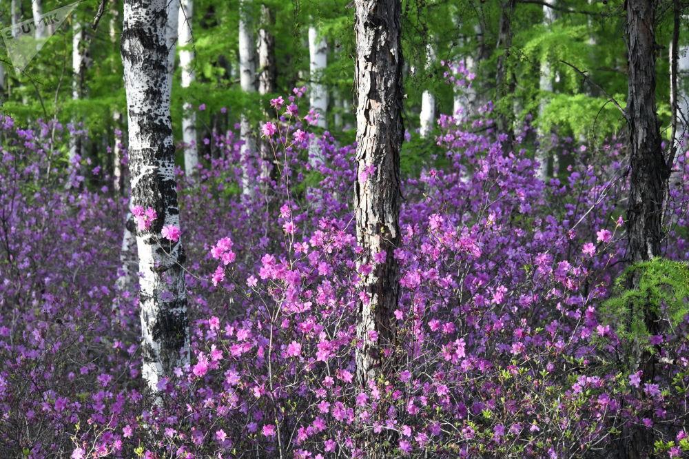 外贝加尔边疆区盛开的杜鹃花。