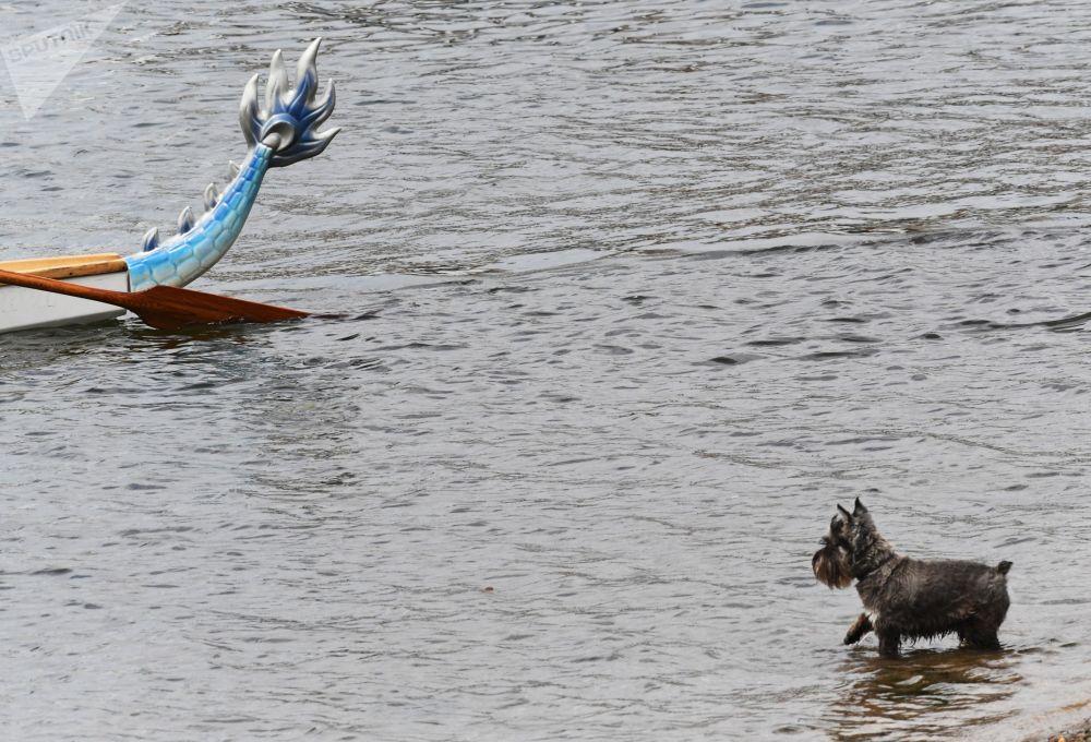 一只小狗在水中观看第41届天才极限运动世界锦标赛龙舟比赛。