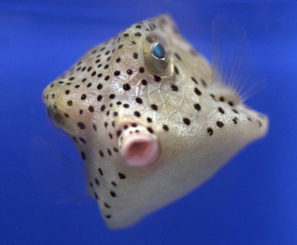 南缅因大学水族箱里一条来自太平洋的两英寸长的小鱼