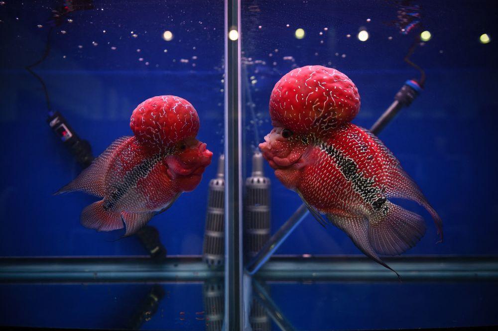 曼谷热带观赏鱼展上两条罗汉鱼在不同的鱼缸里相互对望