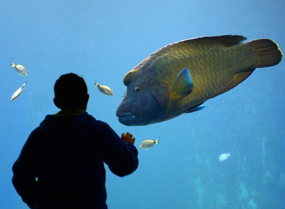 波兰弗罗茨瓦夫动物园最近开放的非洲水族馆里的一条波纹唇鱼(拿破仑鱼)