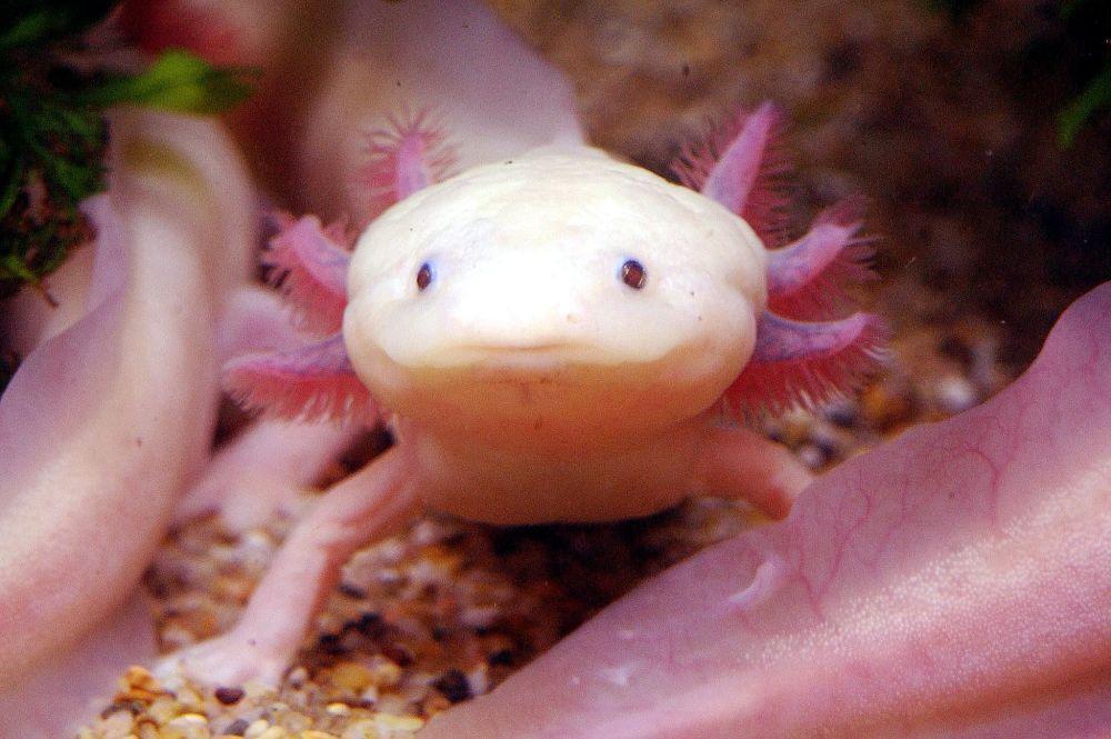 台北海洋生活馆里展出的一条罕见的白化美西螈