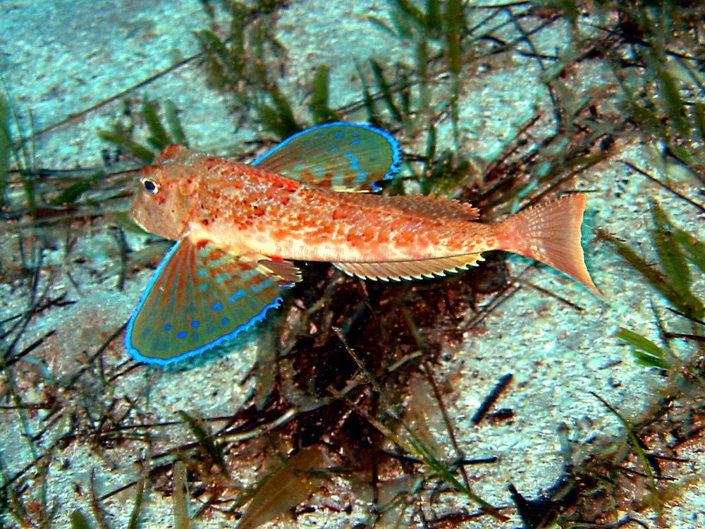 费特希耶市附近地中海里的一只飞鱼