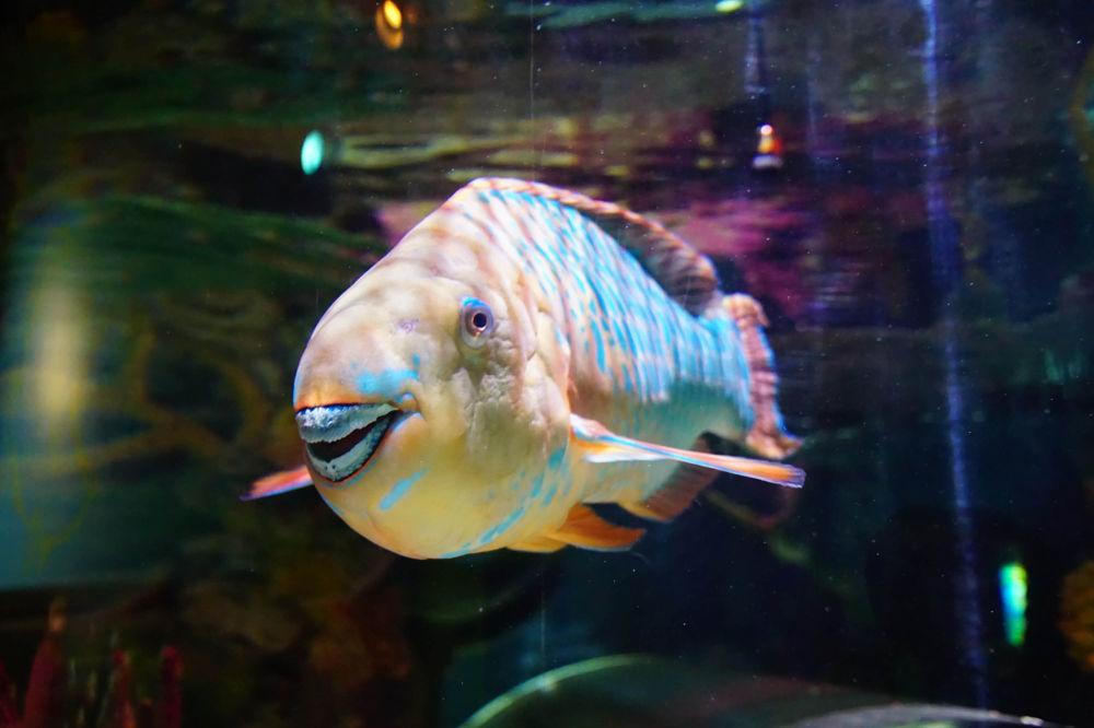 俄勒冈州一只露出牙齿的鹦鹉鱼