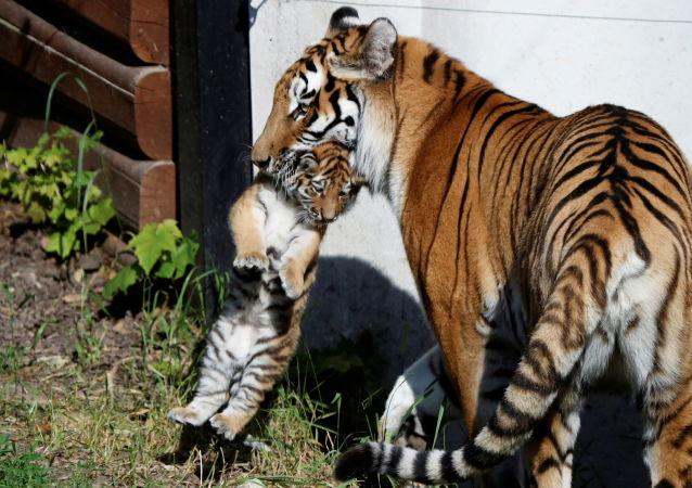 """著名的老虎""""阿穆尔""""所生的虎崽能够参加国际繁殖计划"""