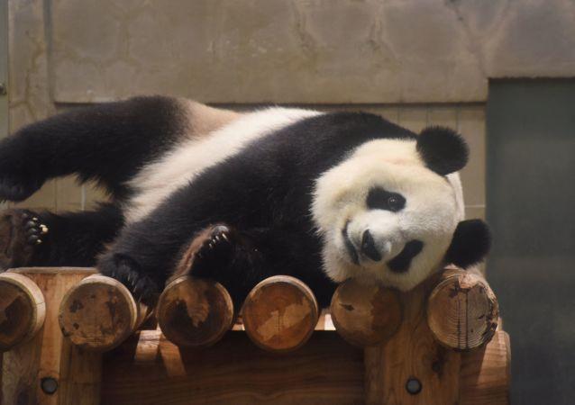 """东京上野动物园两只大熊猫幼崽取名""""蕾蕾""""和""""晓晓"""""""