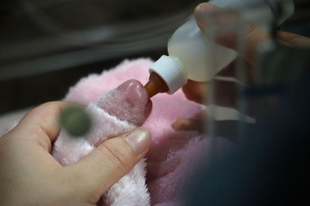 動物園的工作人員給大熊貓幼崽餵食。