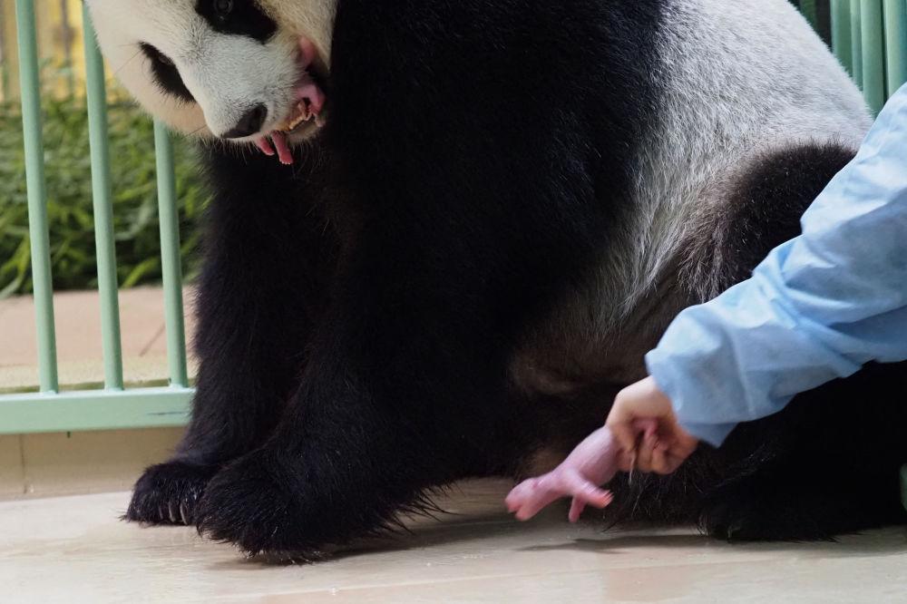 動物園的工作人員陪伴大熊貓「歡歡」和它的幼崽。