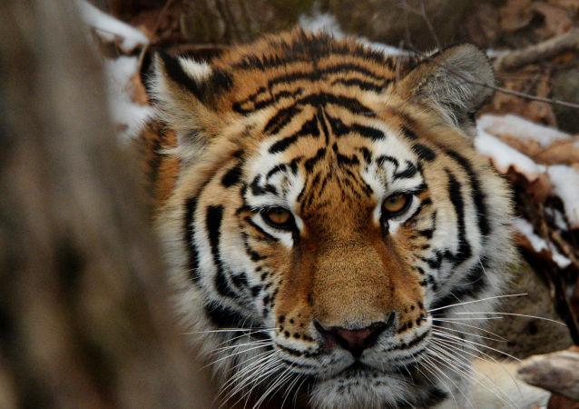 WWF:阿穆尔虎适合恢复哈萨克斯坦已灭绝的种群