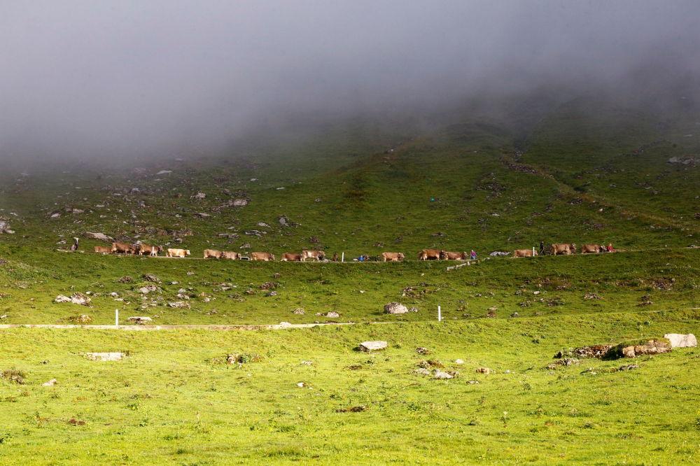 瑞士,牧民们赶着牛群走在前往乌尔内尔博登的路上。