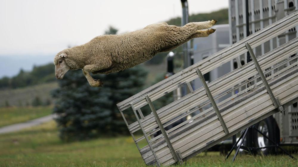 美国士兵谷经典牧羊犬锦标赛(Soldier Hollow Classic Sheepdog Championship)的参赛绵羊从卡车上跳出。