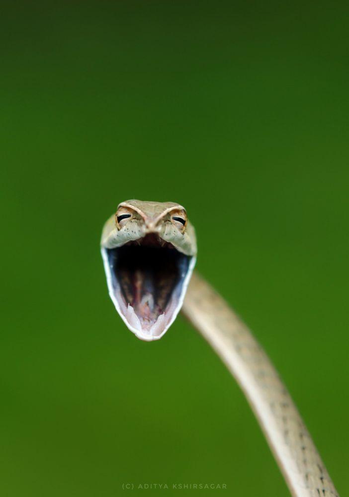"""印度摄影师阿迪特亚•克什尔萨加尔(Aditia Kshirsagar)拍摄作品《笑蛇》(Laughing snake)入围2021年""""喜剧野生动物摄影奖""""决赛评选。"""