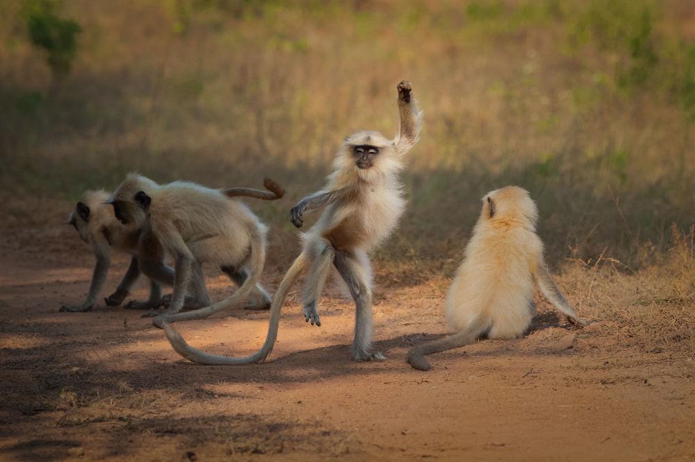 """印度摄影师萨罗什•洛德希(Sarosh Lodhi)拍摄作品《飞向荣耀》(Dancing Away to Glory)入围2021年""""喜剧野生动物摄影奖""""决赛评选。"""