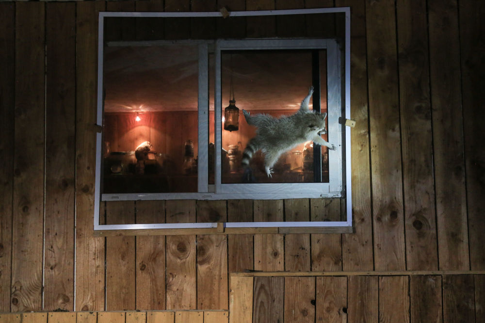 """法国摄影师尼古拉斯•德•范尔克斯(Nicolas de VAULX)拍摄作品《你是怎么打开那个讨厌的窗户?》(How do you get that damn window open?)入围2021年""""喜剧野生动物摄影奖""""决赛评选。"""