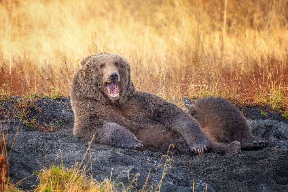 """美国摄影师维侬纳•舒达姆(Wenona Suydam)拍摄作品《像画你的法国熊那样画我》(Draw me like one of your French Bears)入围2021年""""喜剧野生动物摄影奖""""决赛评选。"""