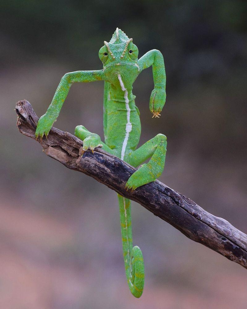 """印度摄影师古鲁穆尔蒂•K(Gurumoorthy K)拍摄作品《绿色形象师》(The Green Stylist)入围2021年""""喜剧野生动物摄影奖""""决赛评选。"""