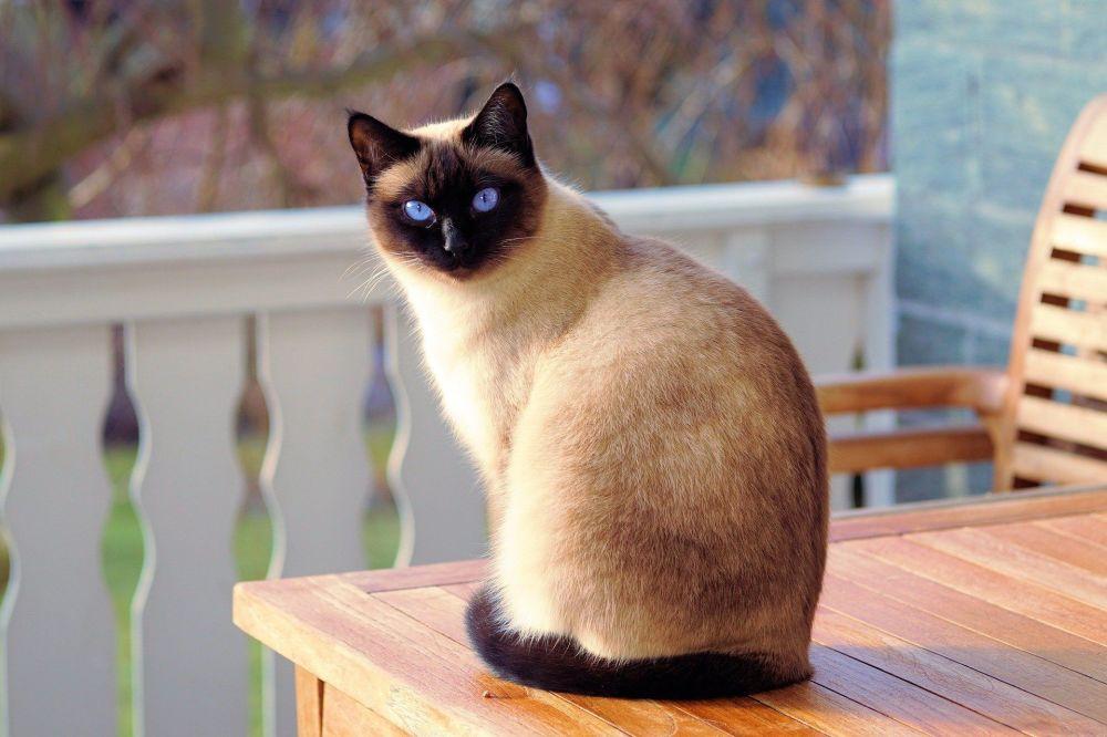 品種如何影響貓的個性