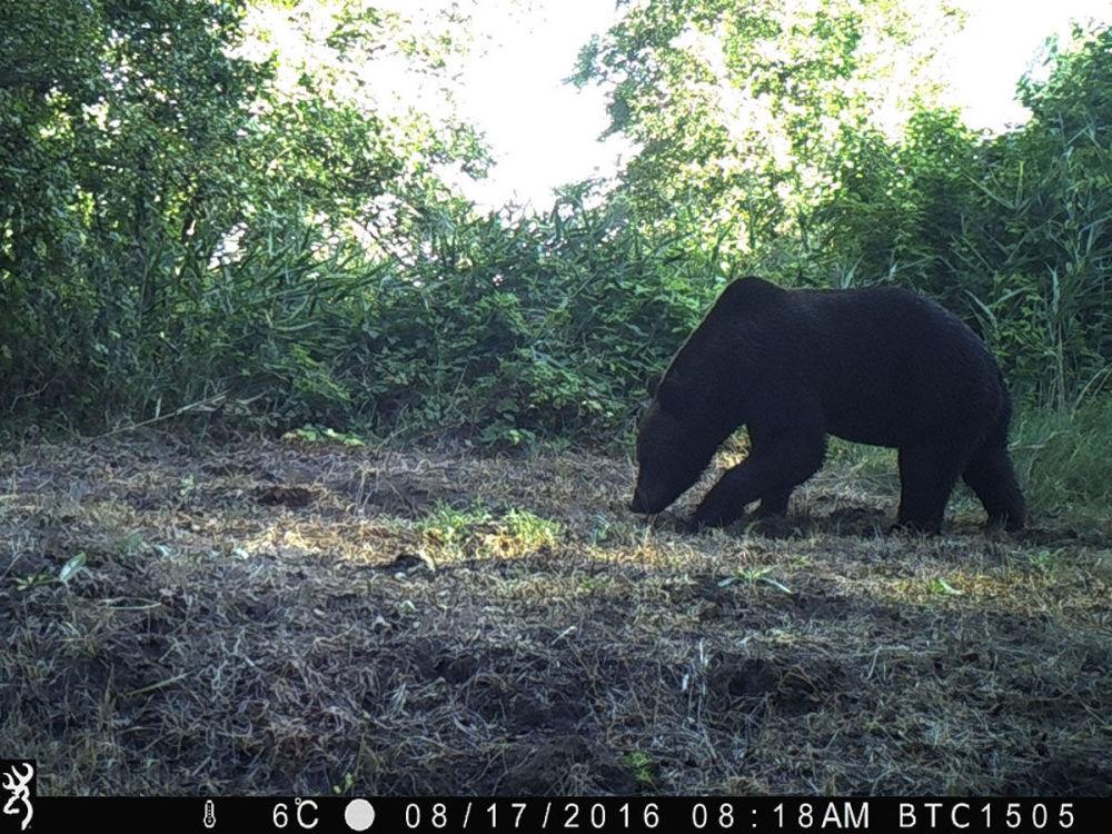 切爾諾貝利核電站禁區的棕熊