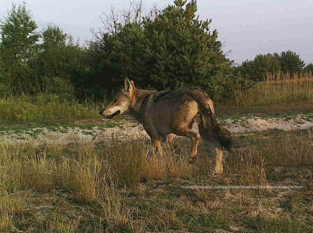 切爾諾貝利核電站禁區的狼