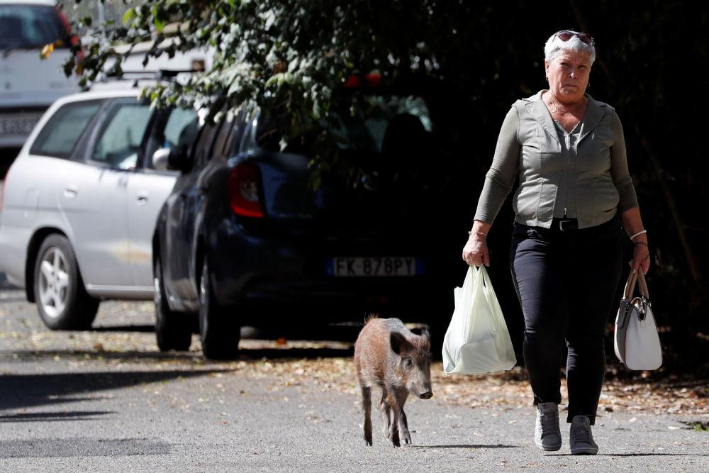 尋找食物的小公豬,意大利羅馬