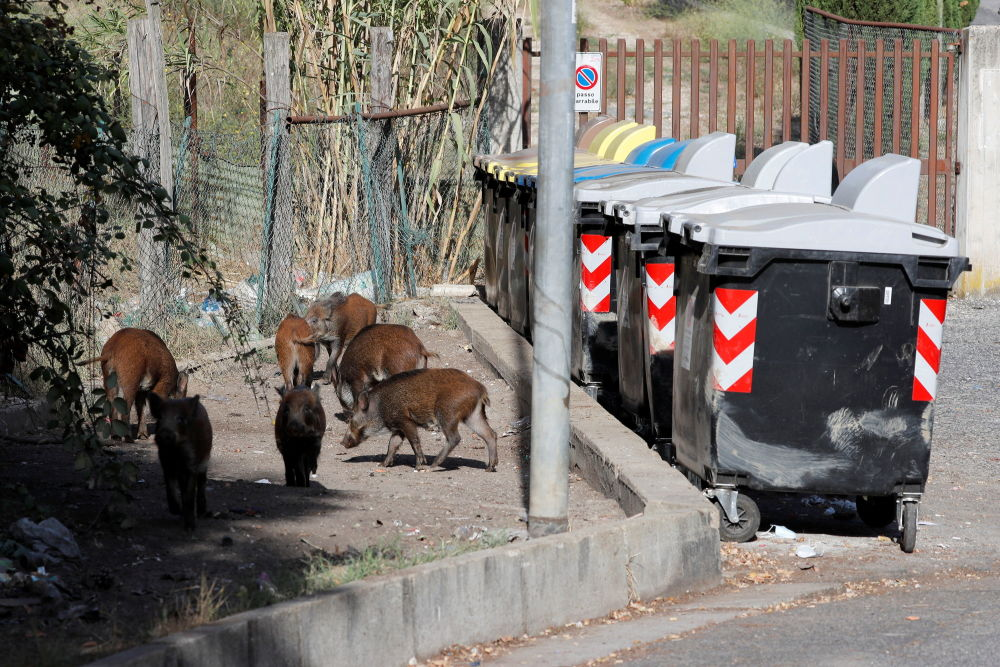正在尋找食物的野豬,意大利羅馬