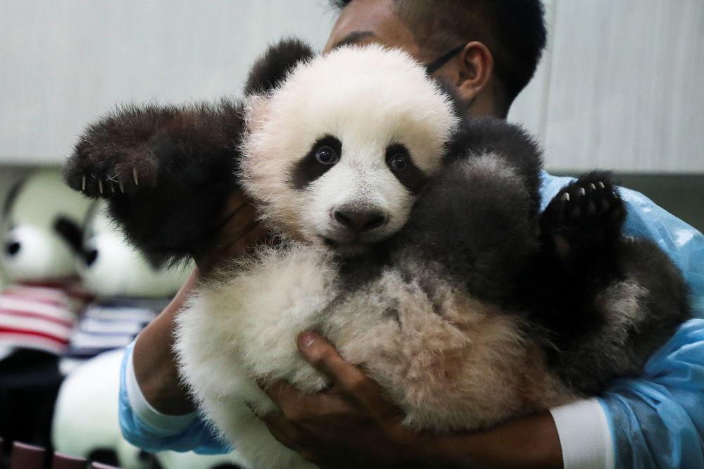 马来西亚国家动物园向游客展示中国大熊猫幼崽。