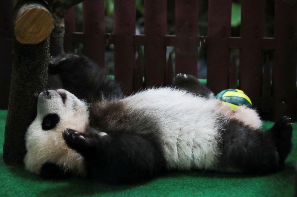 马来西亚国家动物园熊猫馆的中国大熊猫。