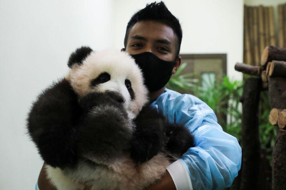 马来西亚国家动物园熊猫馆工作人员手捧大熊猫幼崽。