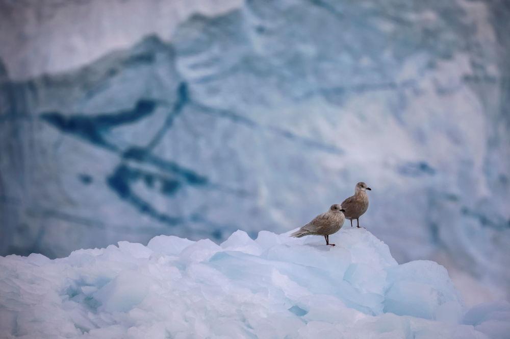 格陵兰岛伊奇普·赛米亚冰川上的海鸥。