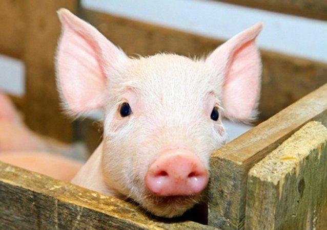 俄罗斯生猪生产公司Agro-Belogorie向香港出口第一批肉制品