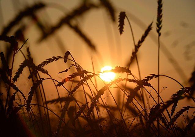 國際市場十年來或將首次出現無俄羅斯小麥的情況