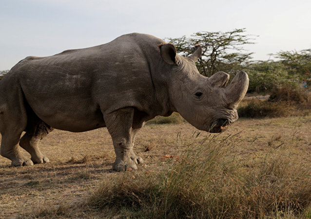 The last surviving male northern white rhino named 'Sudan' is seen at the Ol Pejeta Conservancy in Laikipia