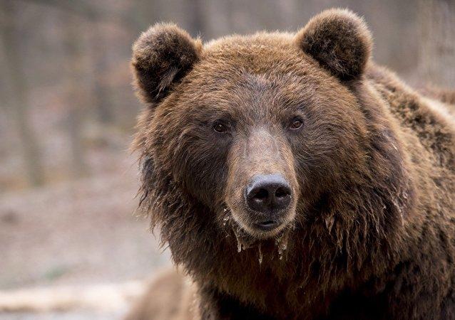 阿尔汉格尔斯克警方击毙攻击一男子的熊