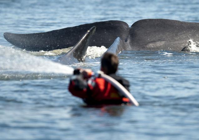鲸鱼先是生吞后又吐出一名活生生的潜水员