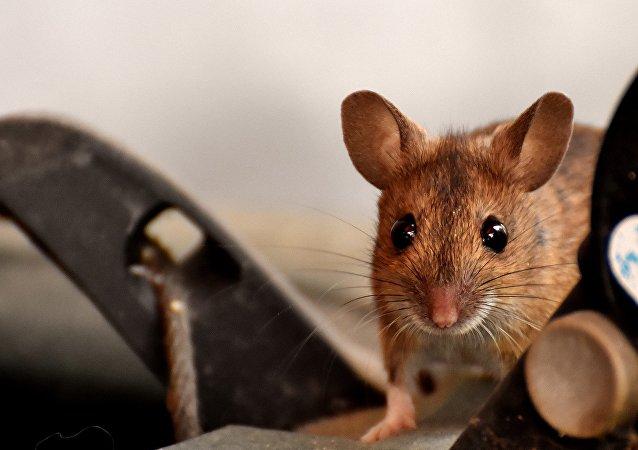 俄加马列亚中心将采购数千只啮齿动物测试新的新冠疫苗