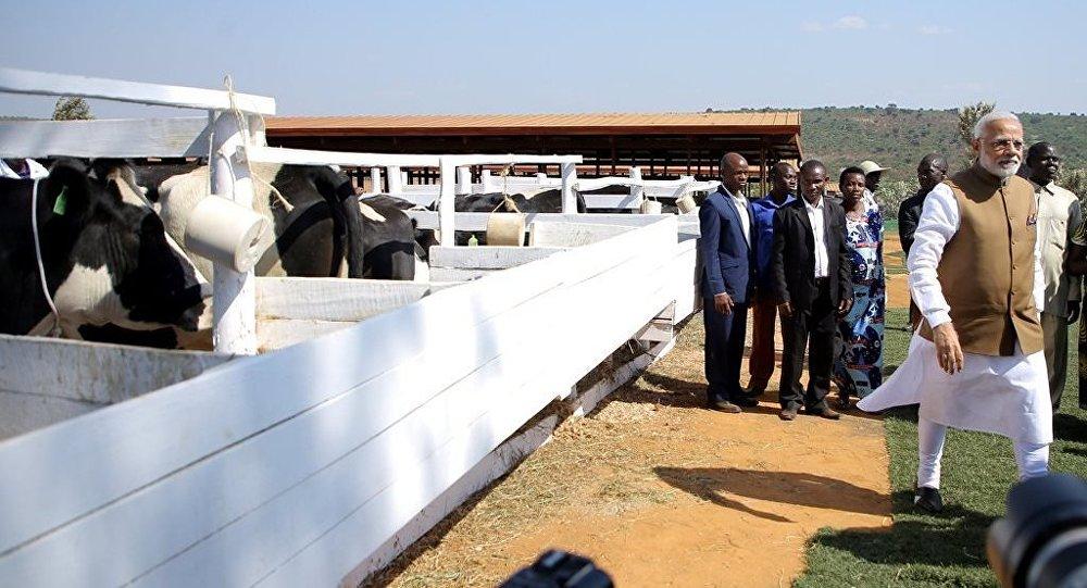 印度總理向盧旺達贈送200頭奶牛